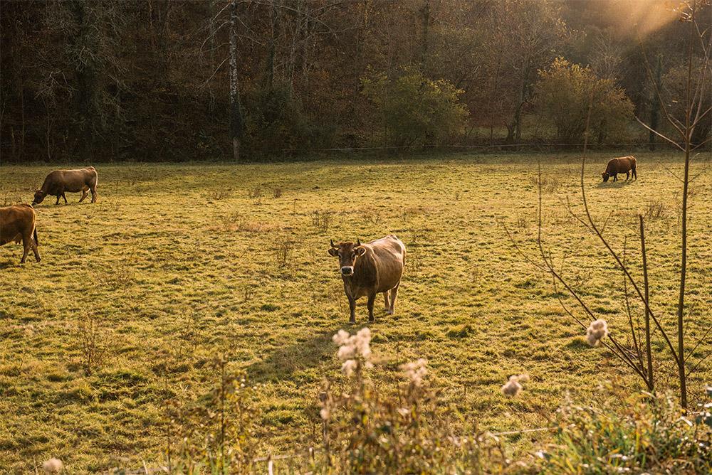 vaca-the-petticoat